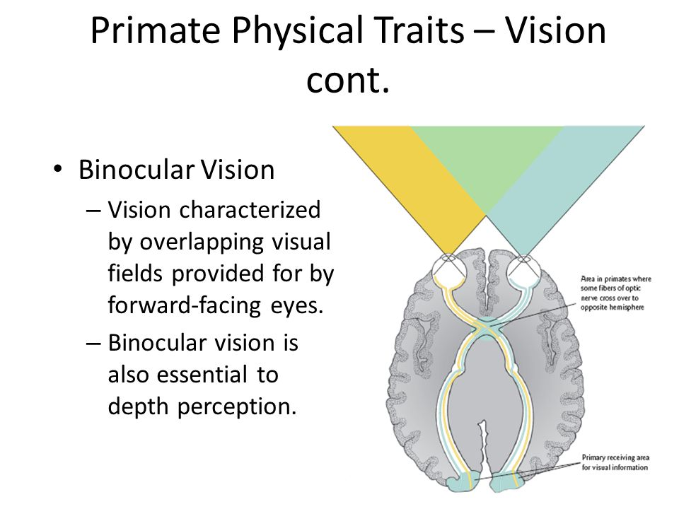 Primate Physical Traits – Vision cont.