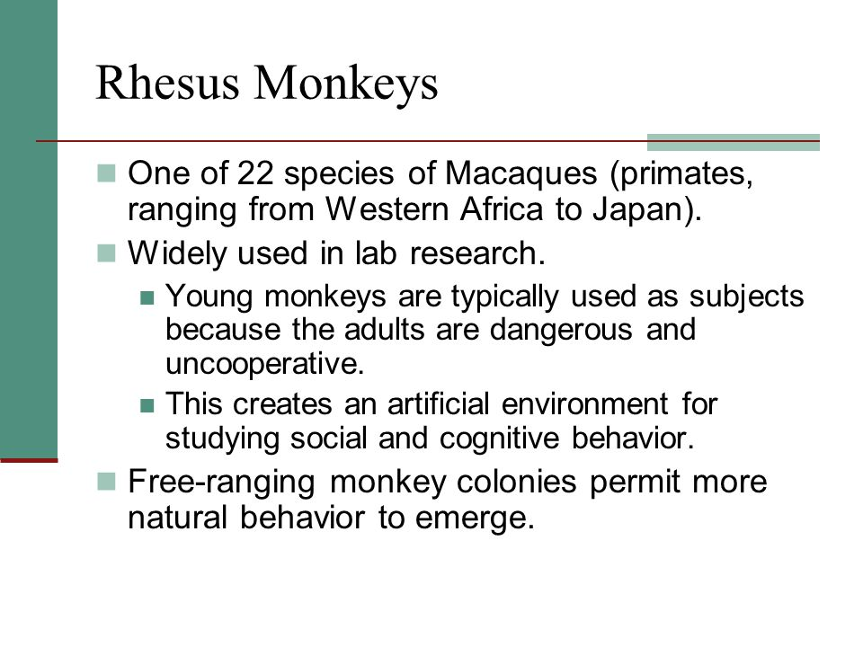 Rhesus Monkeys One of 22 species of Macaques (primates, ranging from Western Africa to Japan). Widely used in lab research.