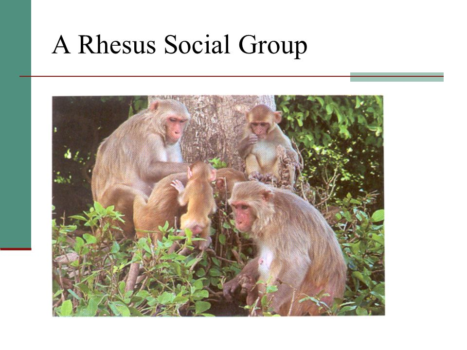 A Rhesus Social Group