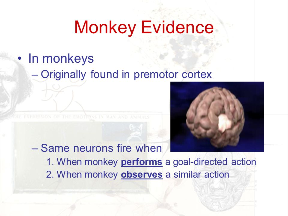 Monkey Evidence In monkeys Originally found in premotor cortex