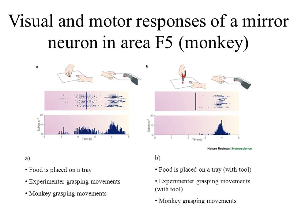 Visual and motor responses of a mirror neuron in area F5 (monkey)