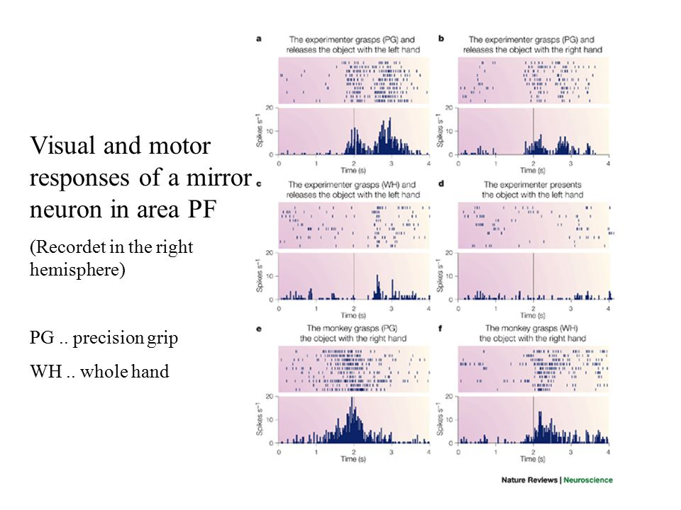 Visual and motor responses of a mirror neuron in area PF