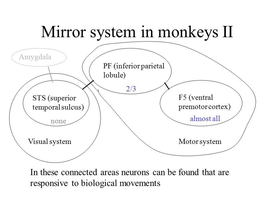 Mirror system in monkeys II