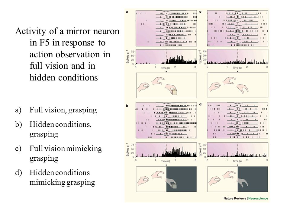 Activity of a mirror neuron in F5 in response to action observation in full vision and in hidden conditions