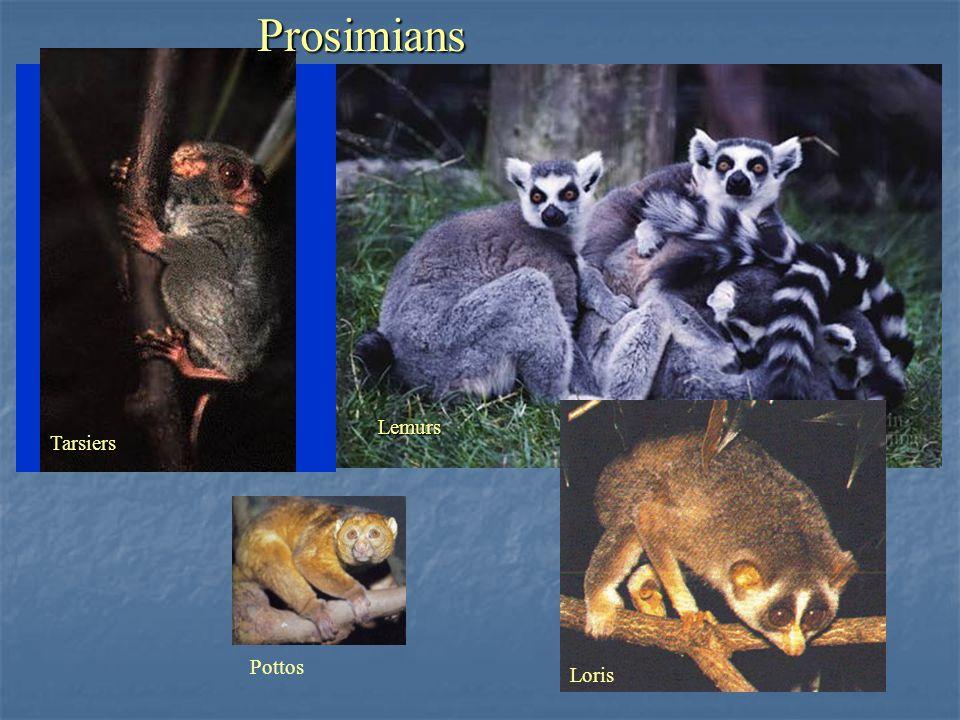 Prosimians Lemurs Tarsiers Pottos Loris