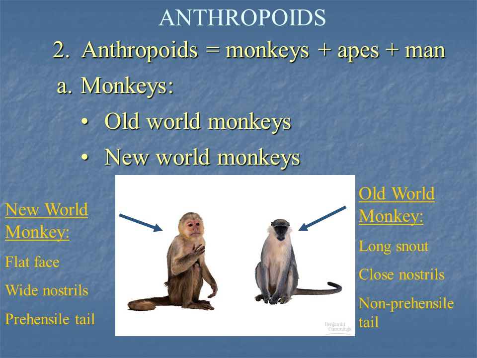 2. Anthropoids = monkeys + apes + man