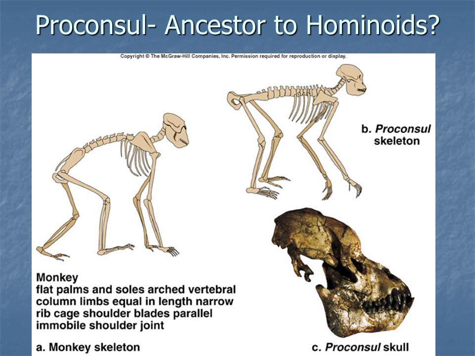 Proconsul- Ancestor to Hominoids