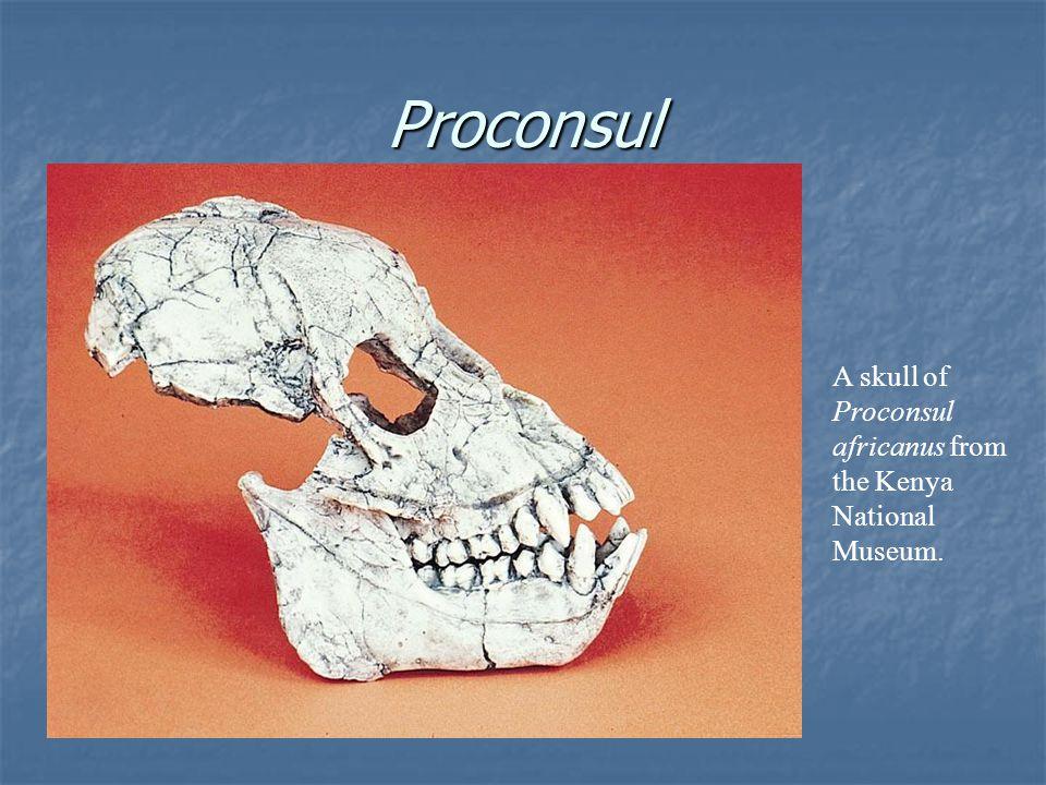 Proconsul A skull of Proconsul africanus from the Kenya National Museum.