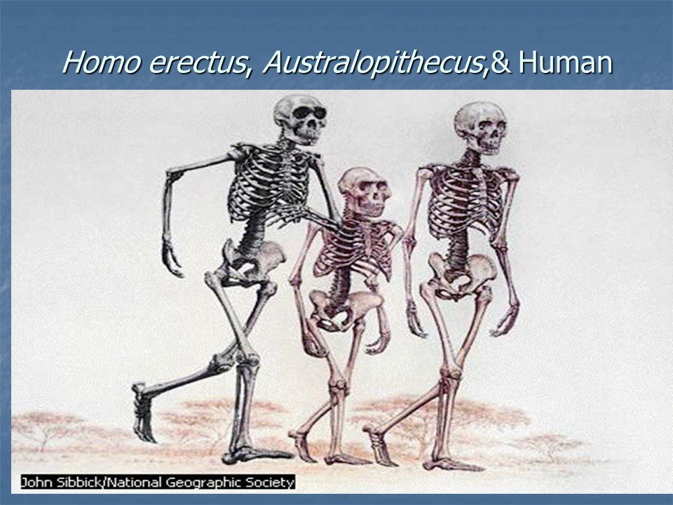 Homo erectus, Australopithecus,& Human