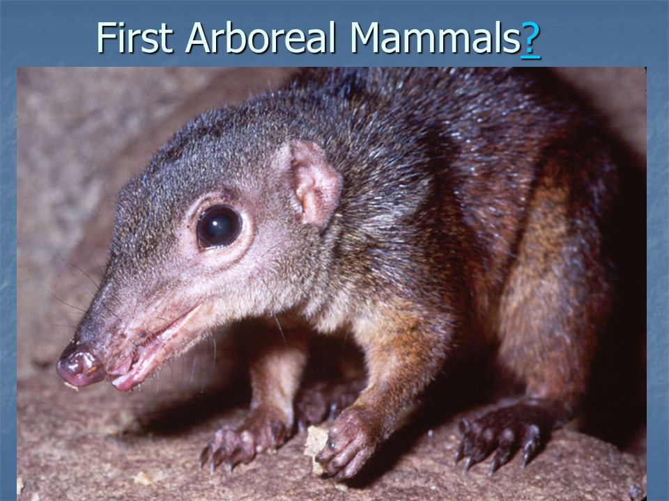 First Arboreal Mammals