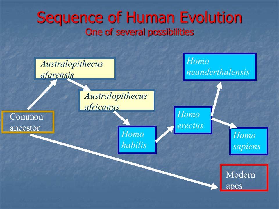 Sequence of Human Evolution One of several possibilities