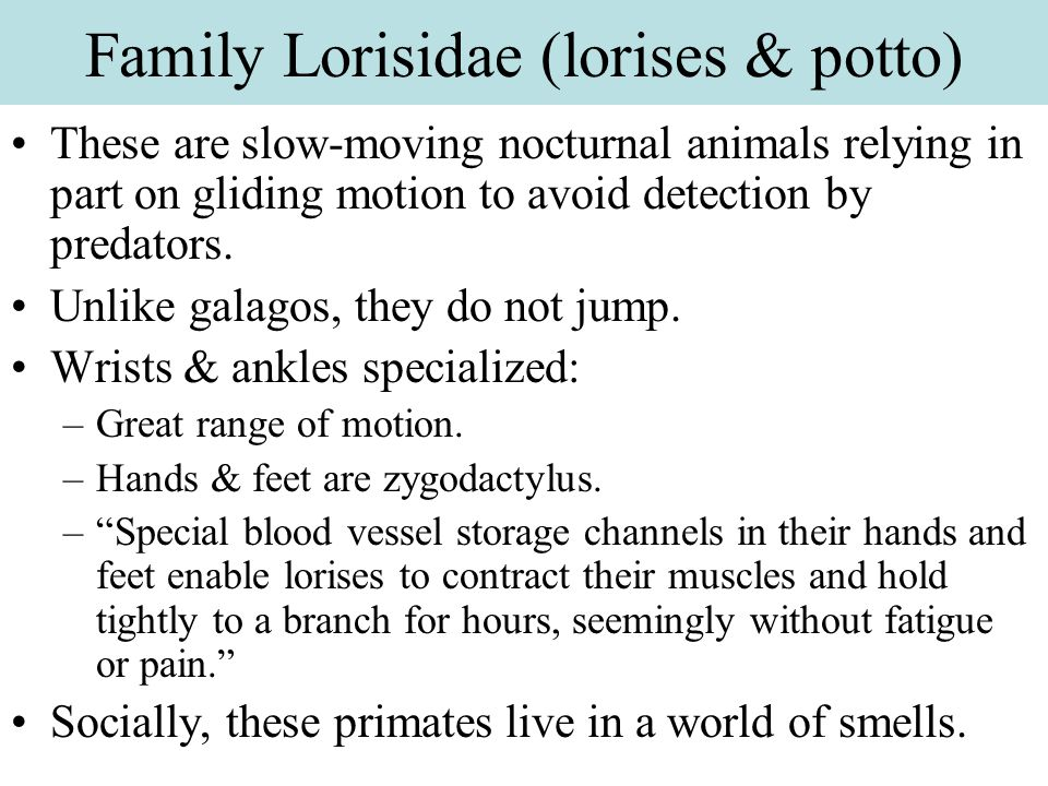 Family Lorisidae (lorises & potto)