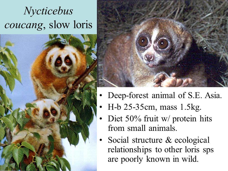 Nycticebus coucang, slow loris