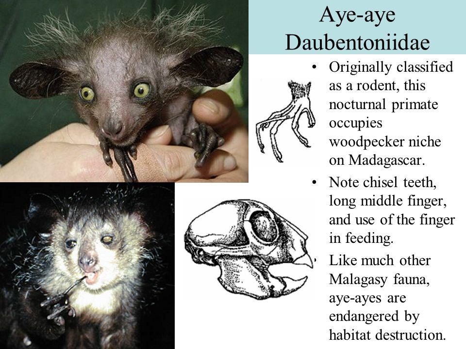 Aye-aye Daubentoniidae