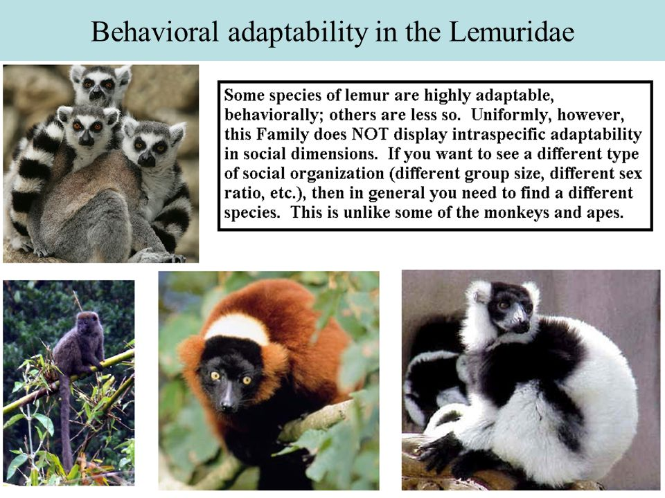 Behavioral adaptability in the Lemuridae