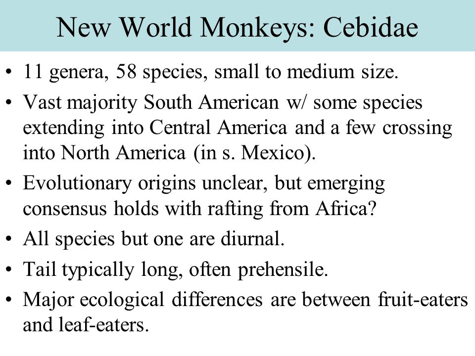 New World Monkeys: Cebidae