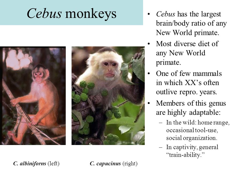 Cebus monkeys Cebus has the largest brain/body ratio of any New World primate. Most diverse diet of any New World primate.