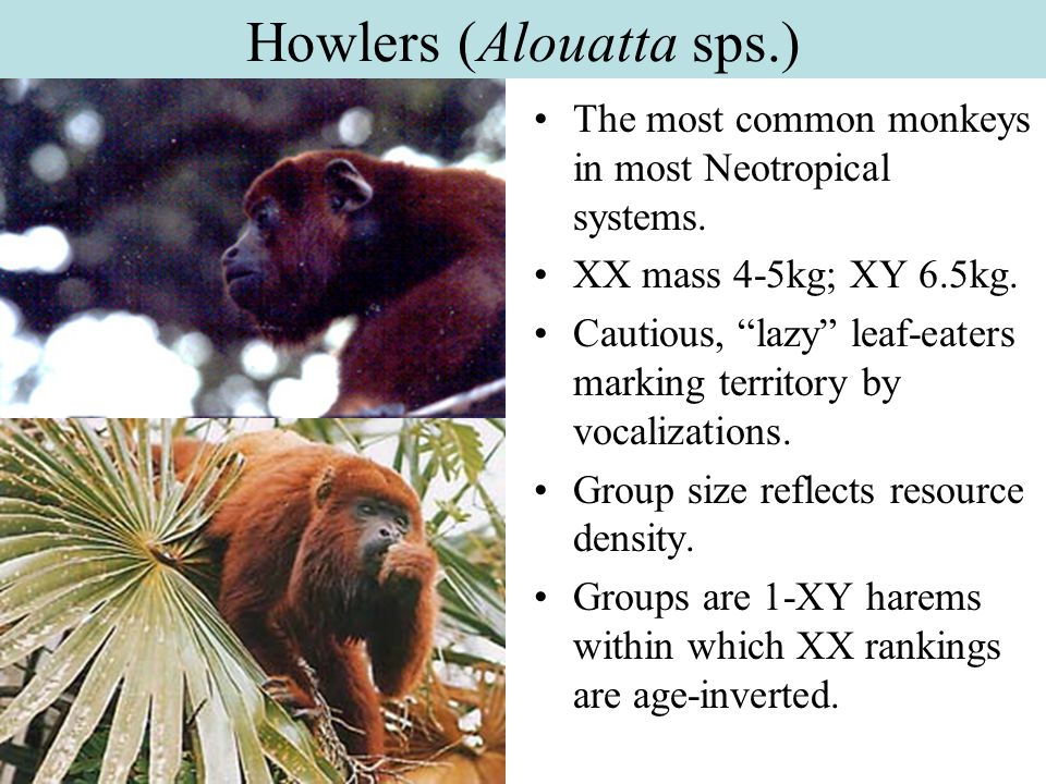 Howlers (Alouatta sps.)