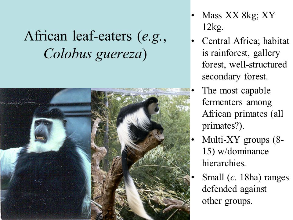 African leaf-eaters (e.g., Colobus guereza)
