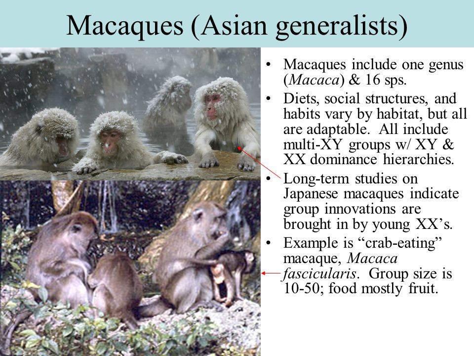 Macaques (Asian generalists)