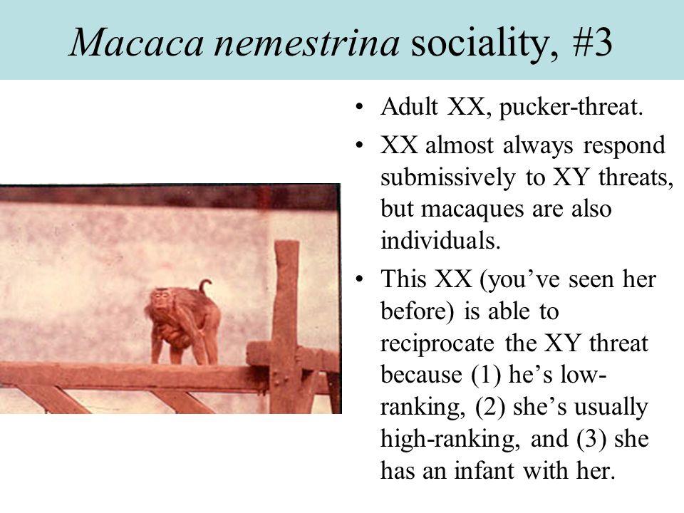 Macaca nemestrina sociality, #3