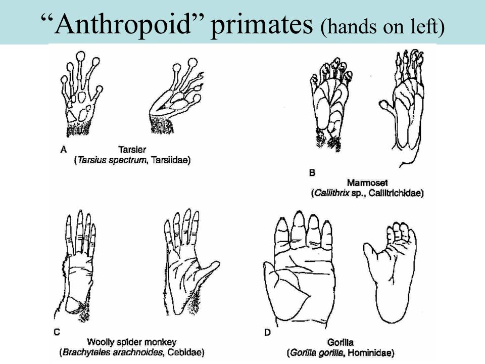 Anthropoid primates (hands on left)
