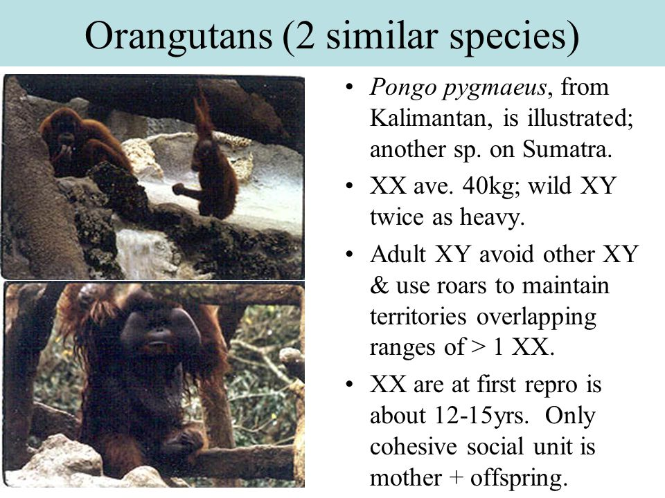 Orangutans (2 similar species)