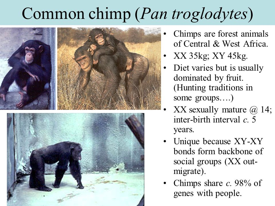 Common chimp (Pan troglodytes)