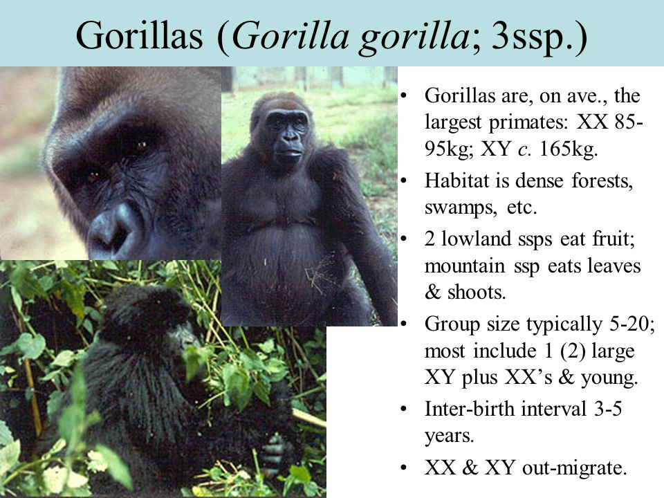 Gorillas (Gorilla gorilla; 3ssp.)