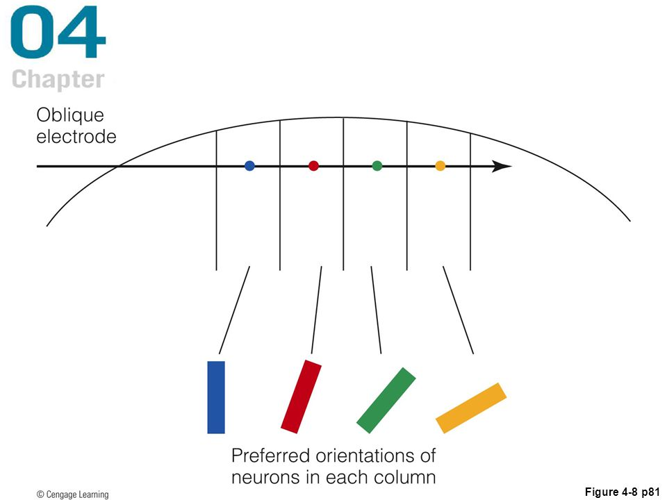 Figure 4.8 If an electrode is inserted obliquely into the cortex, it crosses a sequence of orientation columns. The preferred orientation of neurons in each column, indicated by the bars, changes in an orderly way as the electrode crosses the columns. The distance the electrode is advanced is exaggerated in this picture.