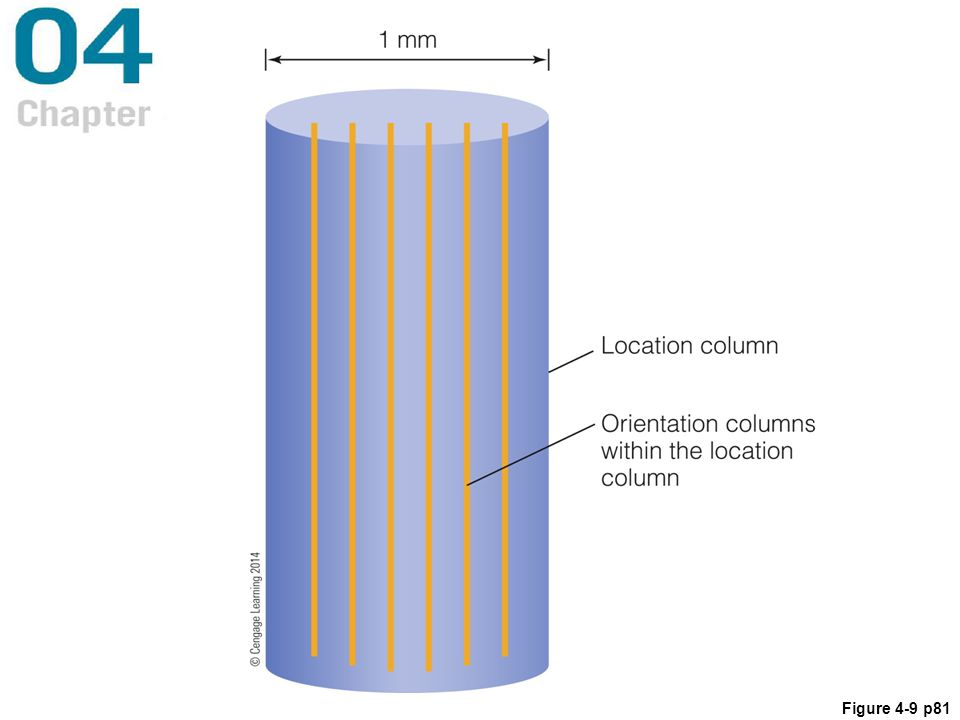 Figure 4.9 A location column that contains the full range of orientation columns. A column such as this, which contains a full array of orientation columns, was called a hypercolumn by Hubel and Wiesel. A column such as this receives information about all possible orientations that fall within a small area of the retina.