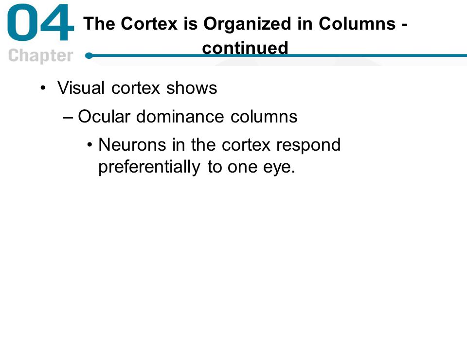 The Cortex is Organized in Columns - continued