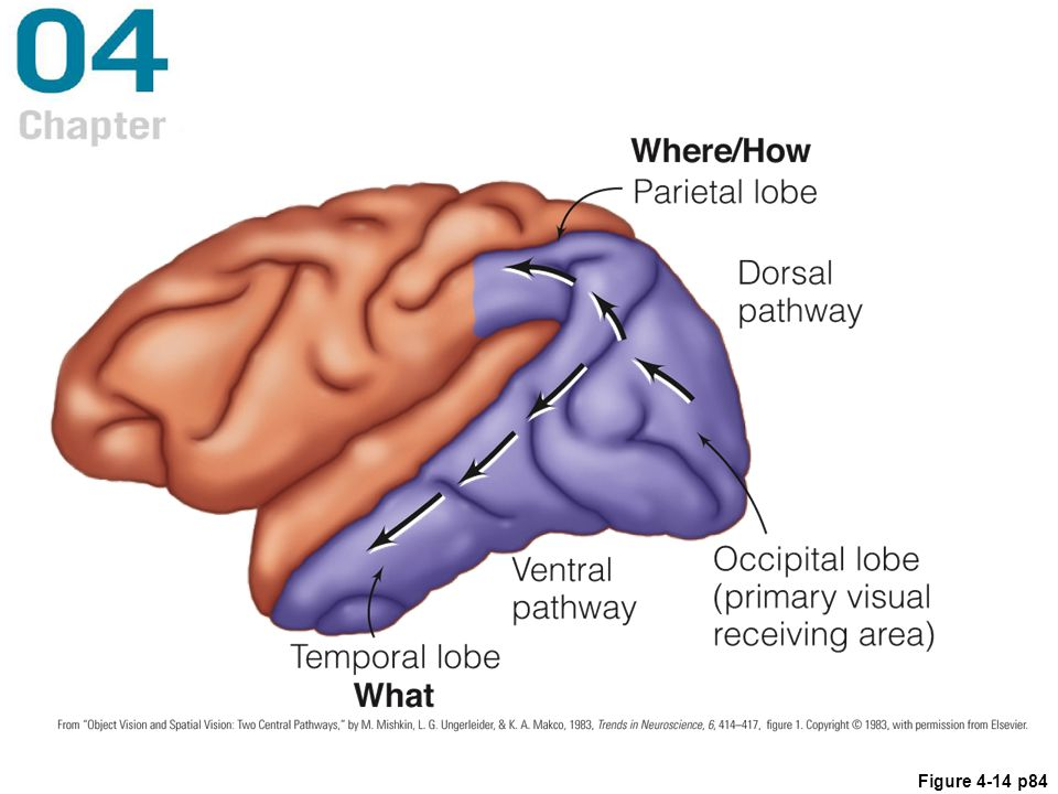 Figure 4.14 The monkey cortex, showing the what, or ventral, pathway from the occipital lobe to the temporal lobe, and the where, or dorsal, pathway from the occipital lobe to the parietal lobe. The where pathway is also called the how pathway.