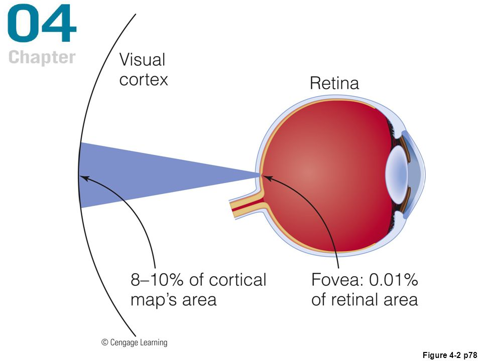 Figure 4. 2 The magnification factor in the visual system