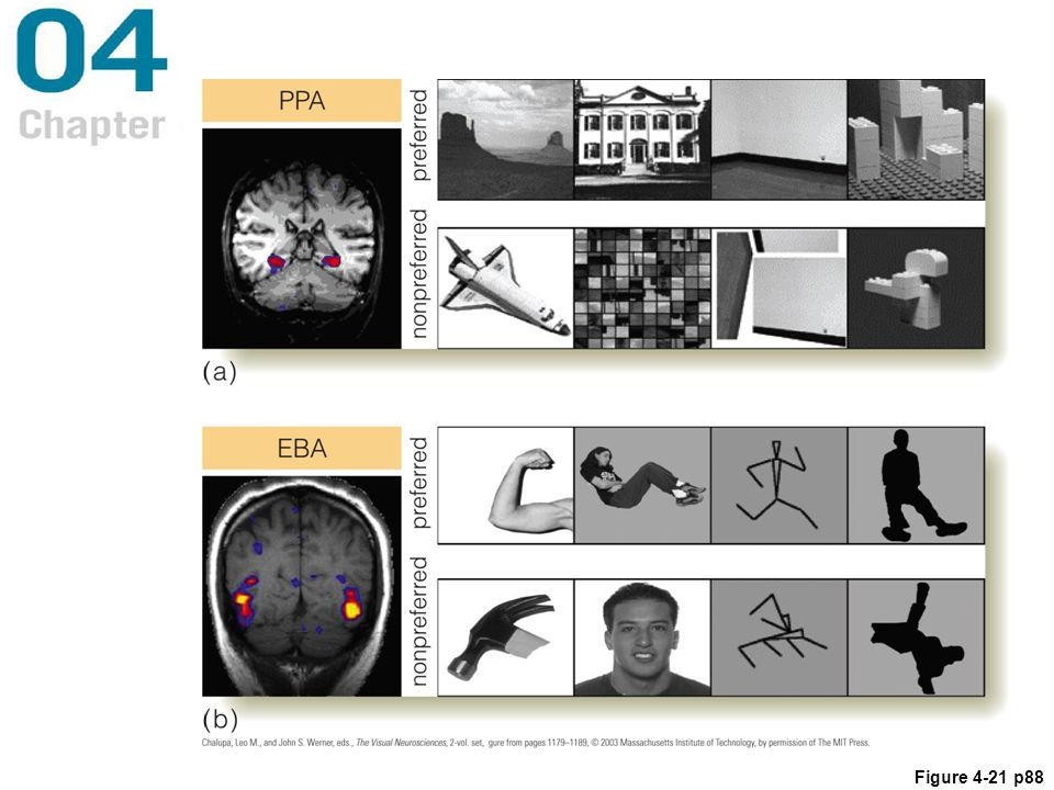 Figure 4.21 (a) The parahippocampal place area (PPA) is activated by places (top row) but not by other stimuli (bottom row). (b) The extrastriate body area (EBA) is activated by bodies (top), but not by other stimuli (bottom).