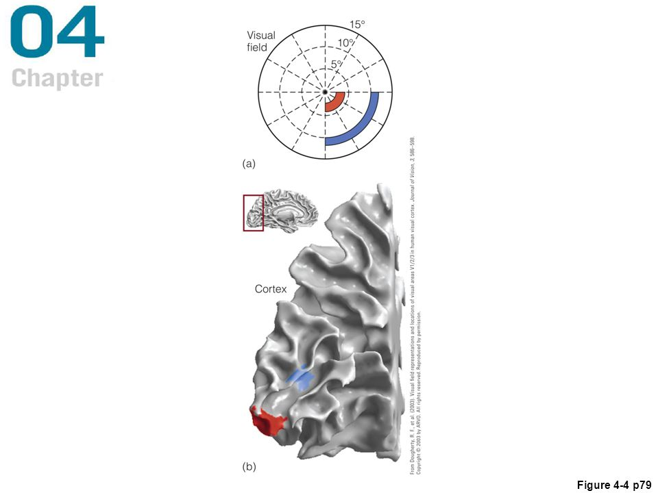 Figure 4.4 (a) Red and blue areas show the extent of stimuli that were presented while a person was in an fMRI scanner. (b) Red and blue indicate areas of the brain activated by the stimulation in (a).