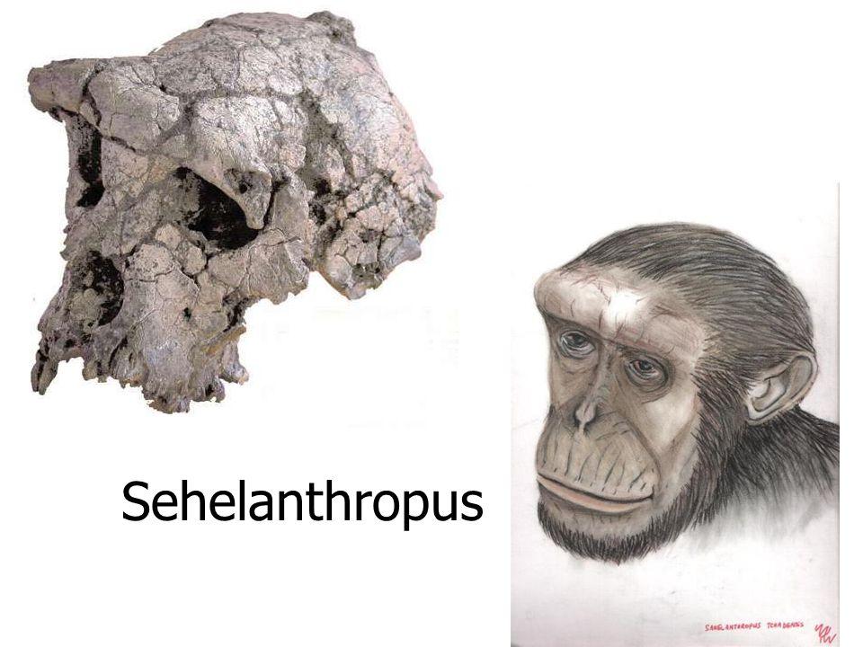 Sehelanthropus