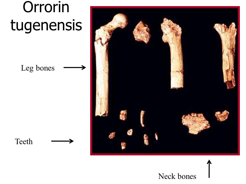 Orrorin tugenensis Leg bones Teeth Neck bones