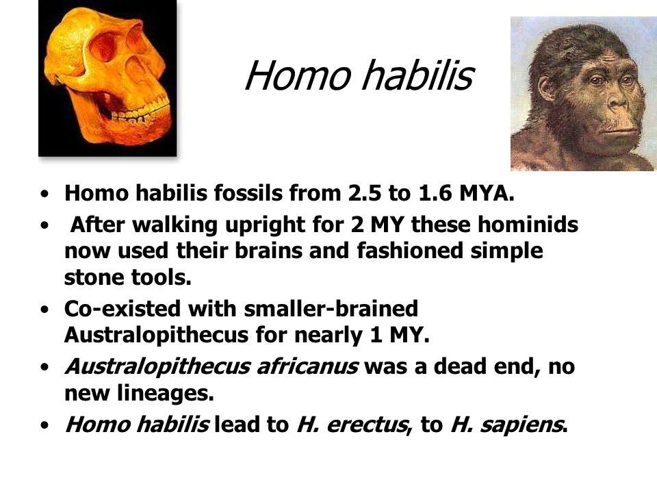 Homo habilis Homo habilis fossils from 2.5 to 1.6 MYA.