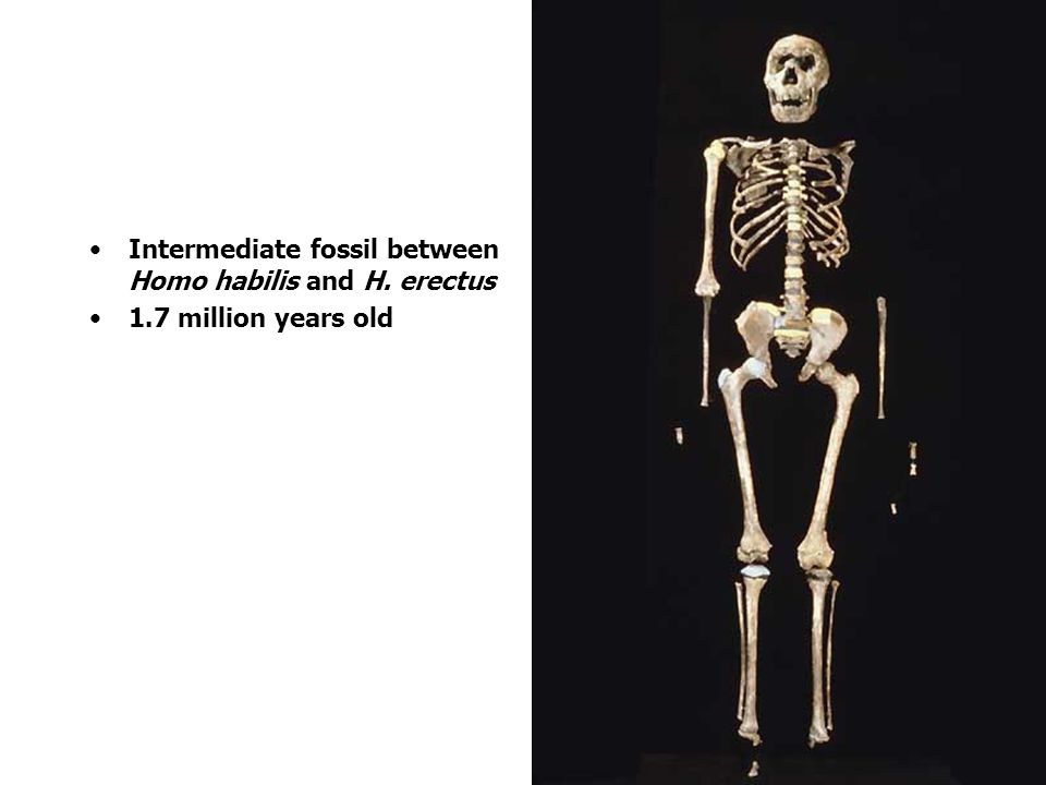 Intermediate fossil between Homo habilis and H. erectus