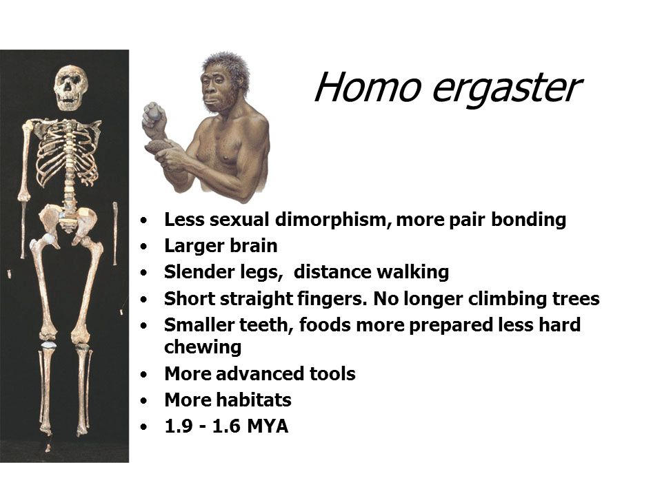 Homo ergaster Less sexual dimorphism, more pair bonding Larger brain