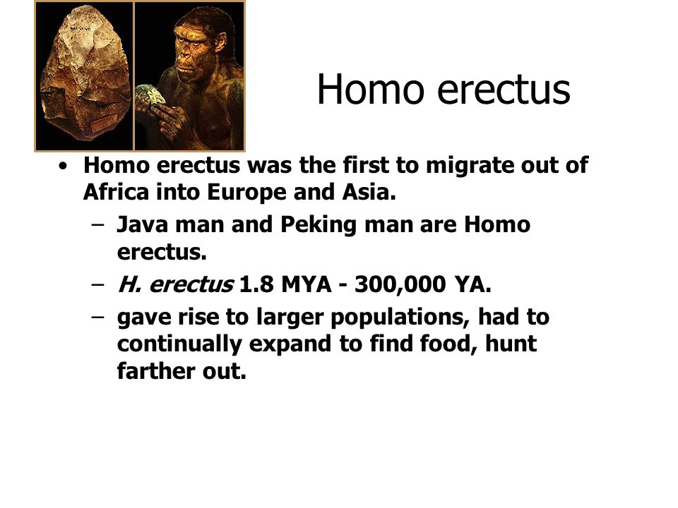 Homo erectus Homo erectus was the first to migrate out of Africa into Europe and Asia. Java man and Peking man are Homo erectus.