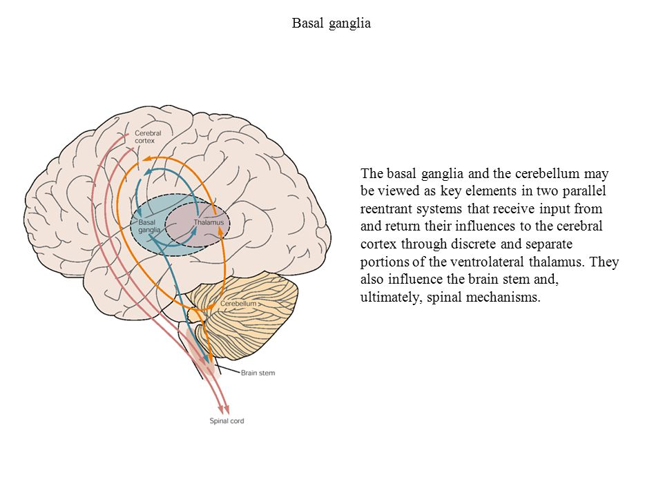 Basal ganglia The basal ganglia and the cerebellum may be viewed as ...