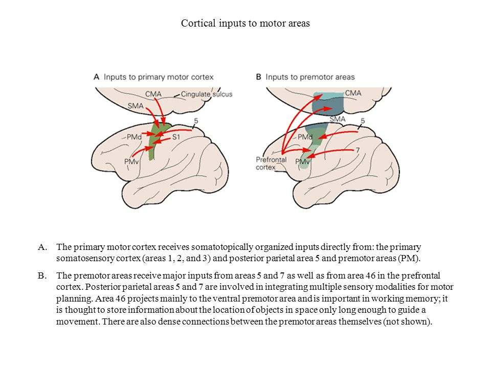 Cortical inputs to motor areas
