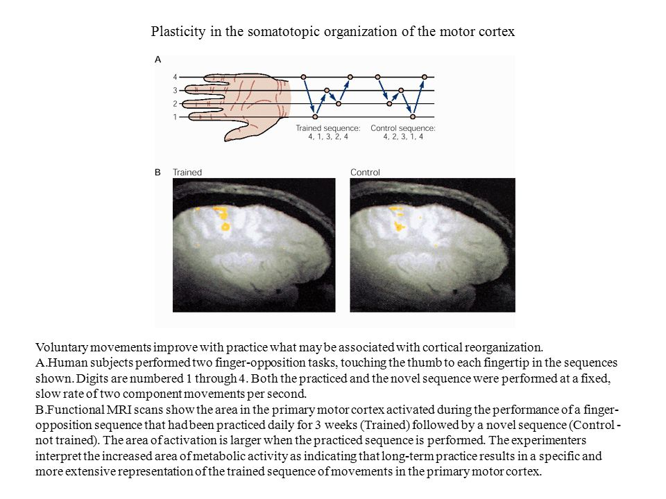 Plasticity in the somatotopic organization of the motor cortex