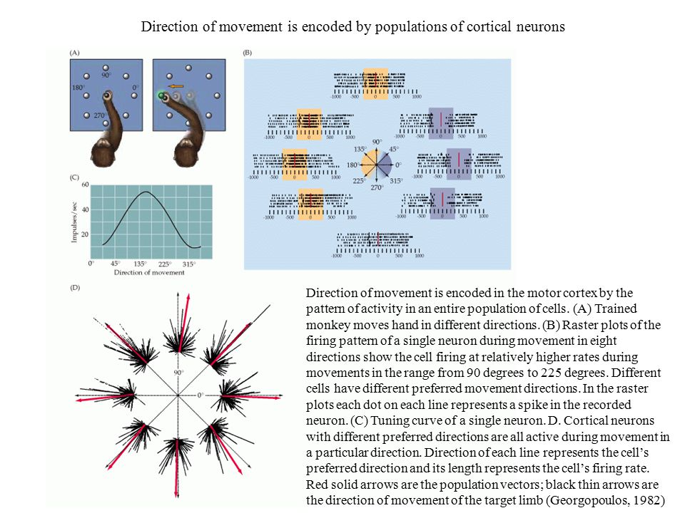 Direction of movement is encoded by populations of cortical neurons