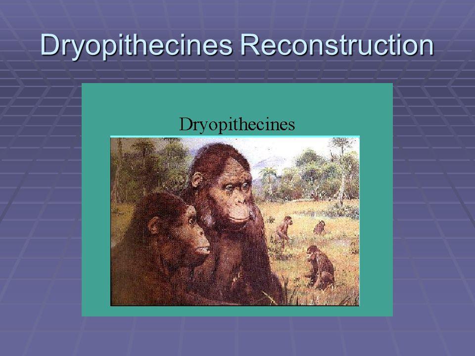 Dryopithecines Reconstruction