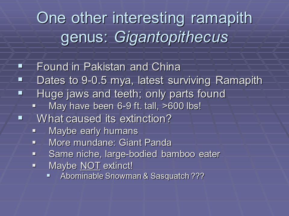 One other interesting ramapith genus: Gigantopithecus