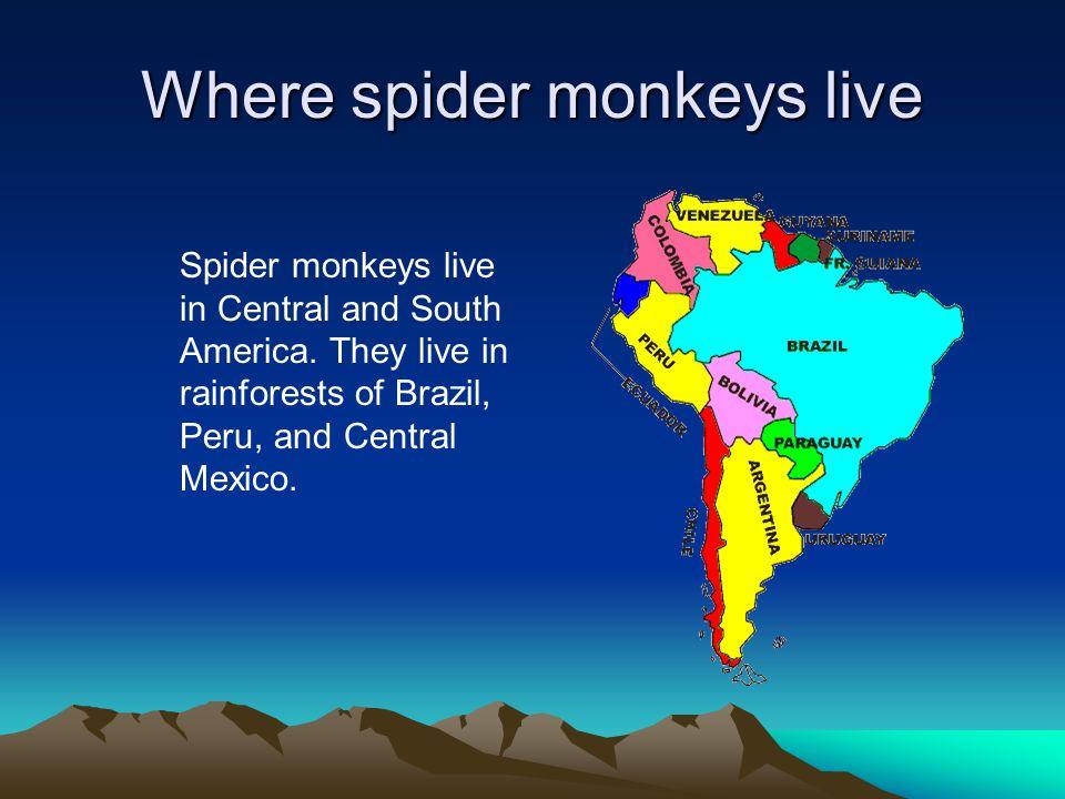 Where spider monkeys live