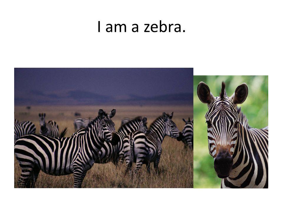 I am a zebra.